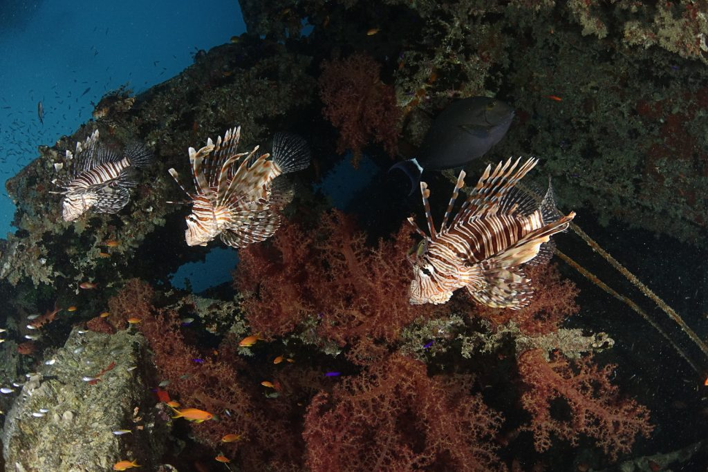 Three lions? Lionfish in the Red Sea